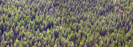 Pine tree background Stock Photos