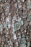 Pine tree background. Wood pine tree, moss and lichen growing on tree trunk Stock Images