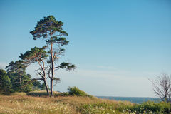 Pine tree on the Baltic sea coast Royalty Free Stock Image