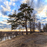 Pine tree on the bank of the river. On a sunset background Royalty Free Stock Photography