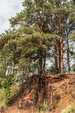 Pine tree with bare roots grows on top of a sand hill in the forest Stock Photography