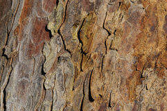 Pine tree bark Stock Image