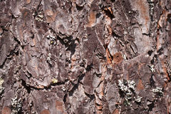 Pine tree bark Stock Images