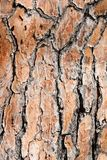 Pine tree bark background Stock Image