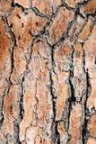 Pine tree bark background. Background of old pine tree bark texture Stock Image