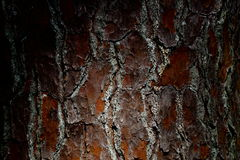 Pine Tree Bark Background Royalty Free Stock Photo