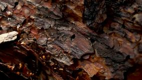 Pine tree bark close up in forest stock video footage