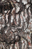 Pine tree bark. Close up of the bark of a pine tree in Mount Gambier, South Australia, Australia Stock Photos