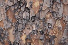 Pine Tree Bark close up Royalty Free Stock Image