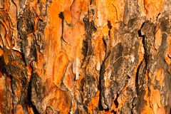 Pine Tree Bark Royalty Free Stock Photos