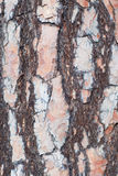 Pine tree bark Royalty Free Stock Image