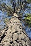 Pine tree bark. Nature wood sky Stock Photography