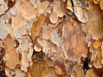 Pine tree bark. Ponderosa pine tree bark close-up Royalty Free Stock Photo
