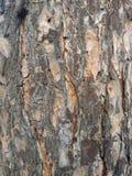 Pine tree bark royalty free stock photography