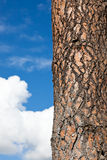 Pine Tree Bark with Sky Stock Image