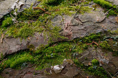 Pine tree bark with some species of moss. Closeup, Bialowieza Forest, Poland, Europe Royalty Free Stock Photos