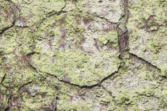 Pine tree bark texture background macro, selective focus, shallow DOF Royalty Free Stock Image