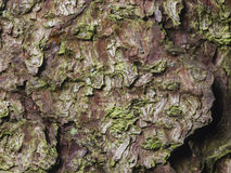 Pine tree bark texture background macro, selective focus, shallow DOF Royalty Free Stock Photography