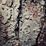Pine tree bark texture. Close up. Aged photo. Royalty Free Stock Image