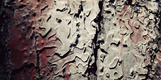 Pine tree bark texture. Close up. Aged photo. Stock Photos