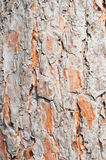 Pine tree bark texture Royalty Free Stock Photo