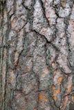 Pine tree bark texture. Stock Images