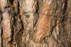 Pine tree bark texture. Royalty Free Stock Photo