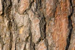 Pine tree bark texture. Stock Image