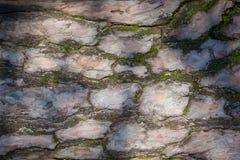 Pine tree bark texture Stock Photo