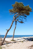 Pine tree at the beach Stock Image