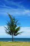 Pine tree on the beach Stock Photos
