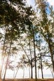 Pine tree at beach Stock Photography