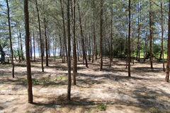 Pine tree on the beach Stock Photos