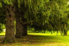 Pine tree. Beautiful green pine trees in Princeton Battlefield, Mercer County, New Jersey Stock Photo