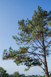 The Pine Tree Royalty Free Stock Photo