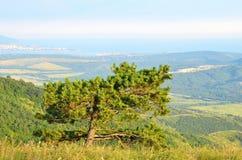 Pine tree on the Black Sea coast Stock Photo