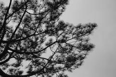 Pine Tree in Black and White. Pine Tree, Phu-Ka-Duang Stock Image