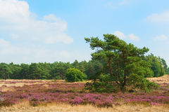 Pine tree in blooming heather field Royalty Free Stock Photos