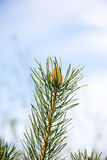 Pine tree blossoms in spring Royalty Free Stock Images