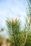 Pine tree blossoms in spring Royalty Free Stock Photography