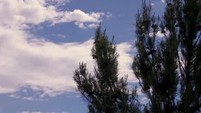 Pine tree waving in the wind. Pine tree blowing in the wind with beautiful cloudscape blue sky background stock video