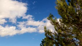 Pine tree  over blue sky clouds. Pine tree blowing in the wind in a nice day over blue sky clouds background stock footage