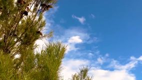 Pine tree over blue sky clouds. Pine tree blowing in the wind over blue sky clouds background stock video footage