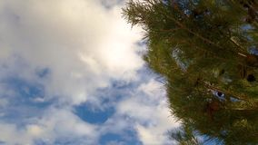 Pine tree blowing in the wind. Over blue sky clouds background stock video footage