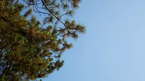 Pine tree with blue sky.  stock video footage