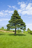 Pine Tree and Blue Sky Royalty Free Stock Photos