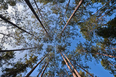 Pine tree and blue sky. Pine tree and blue sky in wide angle shot Royalty Free Stock Image