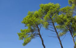 Pine tree on blue sky Stock Photos