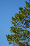 Pine tree with blue sky Royalty Free Stock Image