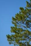 Pine tree with blue sky Royalty Free Stock Image